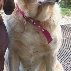 Lost dog on 25 May 2014 in Donard, West Wicklow. Lexi our beautiful 4year old Golden Labrador wearing a red collar went missing in the Donard area on Sunday 25th May.