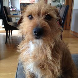 Lost dog on 25 May 2017 in Dublin 18 deansgrange. Small brown terrier mix with white patch on chest. Blue collar lost from Dublin 18 