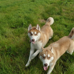 Lost dog on 25 Nov 2012 in CO CLARE. THESE 2 ARE MISSING,REHOMED DUE TO EMIGRATION,NEW OWNER GAVE THEM AWAY.PREVIOUS OWNER DESPERATE TO FIND THEM, REHOMED FROM CO CLARE. LAST SEEN LATE LAST YEAR.PLEASE ANY HELP GREATLY APPRECIATED.