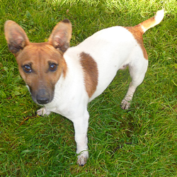 Lost dog on 25 Nov 2015 in Galway Ballybane. jack russell mix, last seen Wendesday the 25th of November in front of GRETB Training Centre in Galway, white with brown patches,very friendly