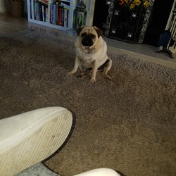 Lost dog on 25 Nov 2016 in Balreask manor trim road navan. Fat pug 4 years old neutered and friendly