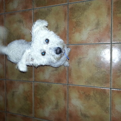 Lost dog on 25 Oct 2014 in Hartstown Dublin 15 . Lost in Hartstown Park Dublin 15 - 1 year old male Bichon wearing green collar