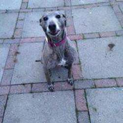 Lost dog on 25 Oct 2015 in Bray. Brindle lurcher Rescue dog