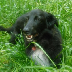 Lost dog on 25 Sep 2016 in navan meath. Black female Collie white patch on chest, lost night 25/09/2016, please contact sean 0862024722