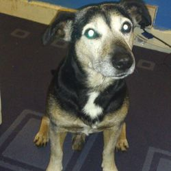 Lost dog on 26 Apr 2014 in n10 1jg. mostly black, with brown paws, white stripe on chest n greyish face (hes 12yrs old) shakey, nervous dog but very friendly. lost saturday 26th april at about 10pm in muswell hill.