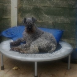 Lost dog on 26 Apr 2017 in Johnstown, Navan.. Jodie is a 14 year old Kerry Blue Terrier. Wearing a red collar.
