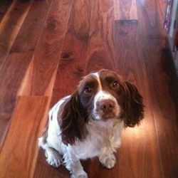 Lost dog on 26 Aug 2013 in Limerick city centre. Missing brown and white springer spaniel. Missing in Limerick, last seen on August 26th at 3.15 on Parnell St. Very slight for his breed. Very quiet and friendly. Much loved family pet.