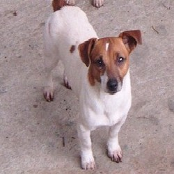 Lost dog on 26 Feb 2013 in limerick. missing since 26th feb 2 yr old jack russell male brown and white all white body except for a tiny brown patch last seen patrickswell/adare area plse contact 0860380898 or 061 355006