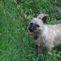 Lost dog on 26 Feb 2014 in Killorglin Co.Kerry. Cairn terrier.Rusty brown colour.Very friendly.Missing since Sunday the 23rd of February
