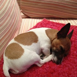 Lost dog on 26 Jan 2013 in Glenageary, Co. Dublin. Miniature jack russell female called Nelly. White with 2 brown spots on her right side and a brown head. If found please contact 0876845234