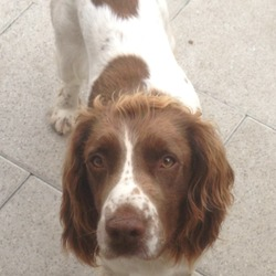 Lost dog on 26 Jul 2016 in Dublin - Mulhuddart. LOST Male Springer Spaniel, brown and tan. Lost from the Mulhuddart area of Dublin 15. If found please call 0870512022 or 0876124711.