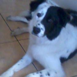 Lost dog on 26 May 2012 in Galway City. Female black and white colie/sheepdog 2years old,last seen in Galway city on ashe road shantalla around 9pm 26th may. Reward offered, ring 0852757262 or 0851798187 with any info, much appreciated and missed dearly.
