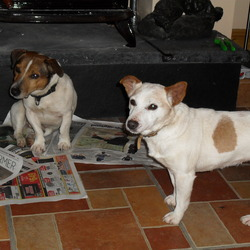 Lost dog on 26 May 2012 in LONGWOOD. 2 Jack Russell,s