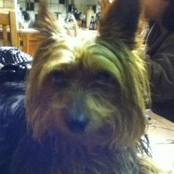 Lost dog on 26 Nov 2012 in Was lost outside sundrive park , Sundrive road Dublin. black and tan Yorkshire Terrier, Brokenhearted owners please contact 0851572815 or 0868207913 if found