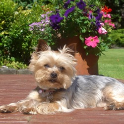 Lost dog on 26 Nov 2013 in Dublin. Female. 9 years old. Yorkshire Terrier. Stolen from back garden in Donnybrook.
