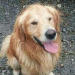 Lost dog on 26 Oct 0016 in Midleton, Cork. Cody,a male golden retriever has been missing from Midleton, Cork since Mon Oct 26.