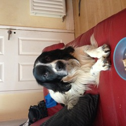Lost dog on 26 Oct 2013 in Balbriggan. Black and white springer collie x missing from Balbriggan. He's a red collar and apparently spotted in swords manor bout 3.30pm yday afternoon (26th oct) very upset daughter here. Please help find