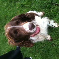 Lost dog on 26 Sep 2011 in enniskerry co wicklow. male, brown and white, springer spaniel. Age unknown. not neutered or microchipped