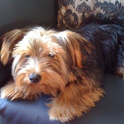 Lost dog on 26 Sep 2013 in Swords, Co. Dublin. 4 years old, male yorkshire terrier, microchiped.