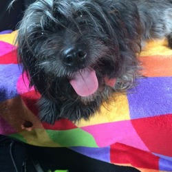 Lost dog on 26 Sep 2016 in Castlewarden, Straffan, Co.Kildare. Black with little grey