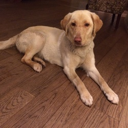 Lost dog on 27 Apr 2014 in Raheny/Dublin. Female Golden Labrador, 2-3 years old. Found in St Annes park raheny, Dublin 5