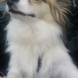 Lost dog on 27 Aug 2013 in Terenure Village (outside Windows Fashions & Interiors). 2 year old male neutered papillon - white fawn & black, answers to the name
