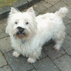 Lost dog on 27 Dec 2013 in Rochestown, Cork. West Highland Terrier lost in the Rochestown/Mount Oval area of the 27 of December. Wearing blue collar please contact 0862550759
