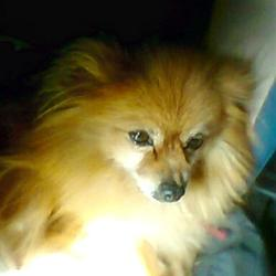 Lost dog on 27 Jul 2015 in Coolnaholga area of Nenagh, Co. Tipperary.. Ginger coloured Pomeranian, called Ginger, Missing in the Coolnaholga area of Nenagh, Co. Tipperary.