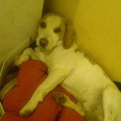 Lost dog on 27 Jun 2012 in Summerhill, Meath. The is Harry a lemon and white begal who has been missing since the 27th of June. He has gone missing in the Summerhill, Meath area.