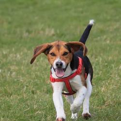 Lost dog on 27 Mar 2015 in ATHENRY, CO. GALWAY. OUR MUCH LOVED MALE BEAGLE HAS GONE MISSING FROM PARK ROAD ATHENRY CO. GALWAY. IF FOUND PLEASE CONTACT 0857742502
