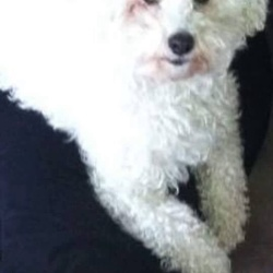 Lost dog on 27 Mar 2016 in Rosslare Strand . Reunited!!!😄😄Missing- lovely dog Billy ,8years old Bichon Fries is gone missing in Rosslare strand 😢 hasn't been seen in a few hours! He has no tag on him but is micro chipped! If anyone knows anyone in Rosslare this weekend please share this post! His owner is very worried pf..N.Hale ..contact 0879423878