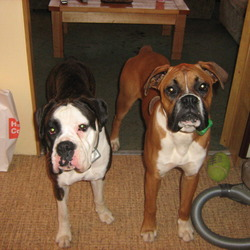 Lost dog on 27 Nov 2009 in Co. Wicklow. Boxer dogs lost on the 27th of November, female is 3 years old and is neutered. She is brindle and white and has very distinctive markings. Male is 2 years old and is brown and white and suffers with a heart condition and needs daily medication. Both dogs are micro-chipped and registered with the Irish Kennel Club. Anyone with any information on their whereabouts or sightings i would be grateful if you would get in contact with me, as we are very anxious to have our dogs back. They are family pets and are no good to anyone as they cannot be breed from. We are offering a very big reward for their safe return home.  0872985252/ 0877563353