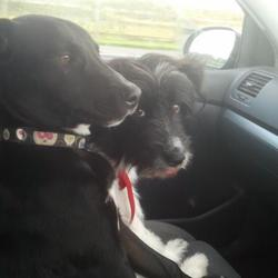 Lost dog on 27 Nov 2012 in Naas. Two dogs missing from Naas one - black and white colie samoyed cross, medium sized,microchipped
