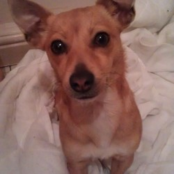 Lost dog on 27 Oct 2012 in Castletimon, Kilmore West, Dublin. 2yr old female jack Russell, all tan colour. Her name is Emily. She went missing from Kilmore West on Sat morning (27 Oct) She wasn't wearing her collar.