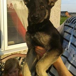 Lost dog on 27 Sep 2012 in dundalk co louth. german shepard female missing from ashling park dundalk co louth since thursday da 27/09/2012 is very shy at first great family dog and is very missed if seen or found could u plz contact me on 0862698926 r by email mickermcgillyguddy@gmail.com thanks :)