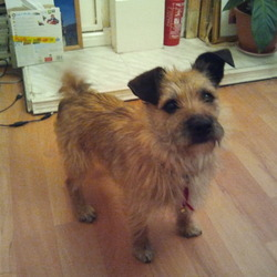 Lost dog on 27 Dec 2012 in Tallaght. Brown male terrier still missing from tallaght area. He has no collar and is not micro chipped. Miss him terribly and just want him home.