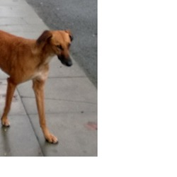 Lost dog on 28 Dec 2013 in Blanchardstown. Large tan female lurcher. Very scared. She was living in a car yard in Castleknock for a few weeks, and we were feeding her and trying to gain her trust. Unfortunately, the security gates were locked on the night of 27th and she was locked out. Last seen at the Blanchardstown Centre on 28th and also on New Years Eve. I am very worried as she will be cold and hungry. Please call 0894 769555 if you see her. She is either lost for quite a while or had been mistreated.