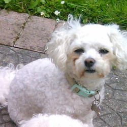 Lost dog on 28 Dec 2014 in Wexford Town. Missing from Wexford town since 28th December. 4yr old female bichon frise, neutured and microchipped. Was wearing faded lemon and. green collar with ID tag when she went missing. Reward offered for safe return.