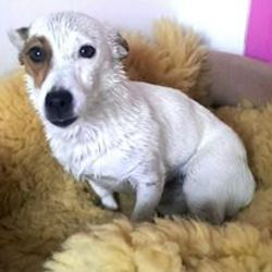 Lost dog on 28 Dec 2015 in Monkstown. Small white female Jack Russell Terrier, 6 years old, spayed. Brown patch over eye. was out rummaging in the area in front of the house and didn't come in when it started to rain. She is microchipped and her vet is Eamonn in Blackrock Veterinary Clinic. Very much loved.