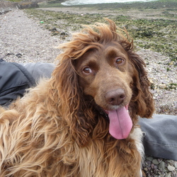 Lost dog on 28 Feb 2012 in General Cork area. Bailey brown Irish Water Spaniel.  Much loved family pet.  Missing from the Cobh area.  200 euros for his safe return or information leading to his capture.  seen in the Carrigtwohill/ Midleton area  Tel Maura on 086 8197533