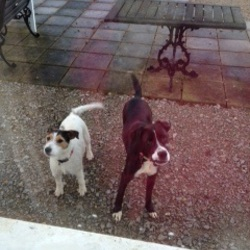 Lost dog on 28 Feb 2012 in Richardstown/Dromin, dunleer, co. Louth. 2 dogs both female and microchipped 1. black and white boxer  2. white and brown terrier. The black and white one is called onion and the white and brown is called crystal. Please call me day or night on 087 7912716
