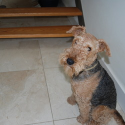 Lost dog on 28 Feb 2013 in Kilternan, Dublin 18. Airdale terrier,