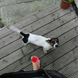 Lost dog on 28 Feb 2013 in tallaght. femalle jack russell still missing ;-(((((((
