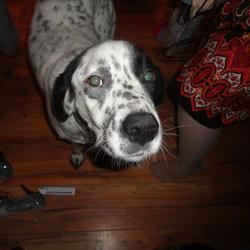 Lost dog on 28 Jan 2013 in Cavan. Black and white pointer/Lab lost in the kilnaleck area of cavan. very friendly and  docile, any information please ring 0862510477