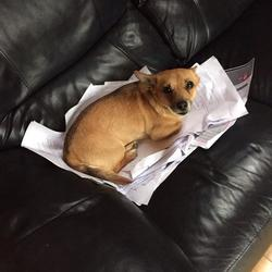 Lost dog on 28 Jul 2015 in Ballinasloe, Galway. young female roughly about three years old cross between a chiuaua and a terrier. Very small friendly dog with a golden brown coat with a dark brown strip down the center of her back.