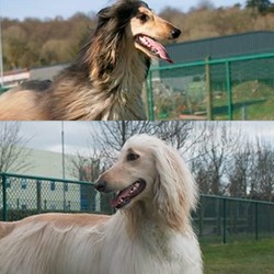 Lost dog on 28 Mar 2015 in Ballyvourney . STOLEN..CORK My two Afghan Hounds has been STOLEN!!!! Between last night 22-7am from Ballyvourney Co.Cork Ireland Please if you have any information about them ; my contact number 0864558757 mail address ;tamas.varhelyi@gmail.com or report the nearest Garda Station.