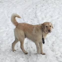 Lost dog on 28 Mar 2018 in Rathmichael, Dublin 18. 6 year old male Labradoodle named Lucky (not neutered)
