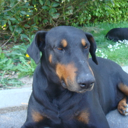 Lost dog on 28 May 2012 in Wexford. Kaiser is a black & tan doberman male dog.His tail is docked more like a rottis.He his stocky in build and hates the rain and cold,he is housetrained and loves to sit in front of the fire.He has medical issues and is microchipped.He is missing way too long and we know that he was in the Wexford area in November 2012 ,he is missed so much and especially by my son whos side he never left when he came out of a coma.He has certain traits and training that only we know.He is 8 yrs old but believe has been up as 5 yrs old on some websites illegally in the wexford area,but he could be anywhere in Ireland or England .A reward will be offered for his safe return.He was with his life long partner Ali also a doberman but think they were seperated and he will die without us or her of a broken heart.Please look at his facebook page Kaiser Doberman for all of there photos and call 089 414 1921 or email findkaiserthedoberman@hotmail.com