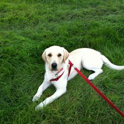 Lost dog on 28 Oct 2012 in Leixlip Co Kildare. Lab cross, 1 year old. Red collar.