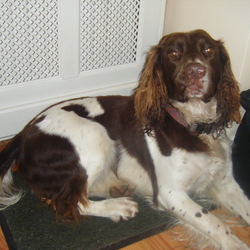 Lost dog on 28 Oct 2012 in Rathfarnham. Name-snoopy. Brown and white Springer spaniel. 7yrs old. Friendly, happy dog. If found Contact 0858136656 or 0879338917 at any time.